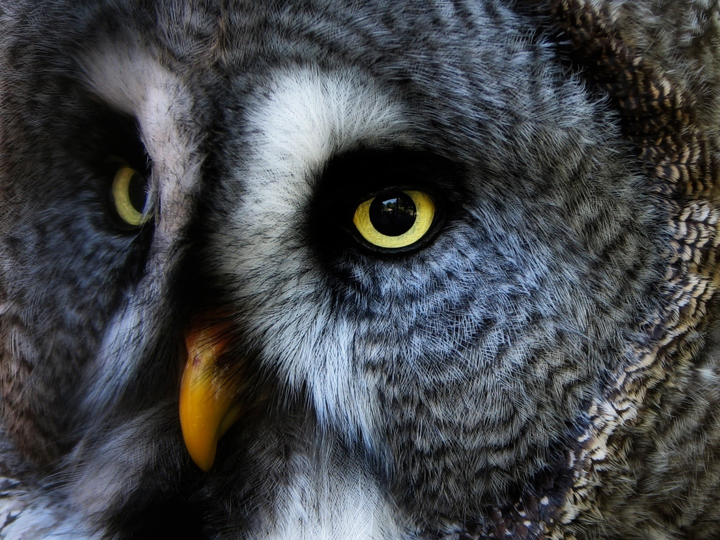 Pin Great Gray Owl Finland Windows Wallpapers Wallpaper Hd ...