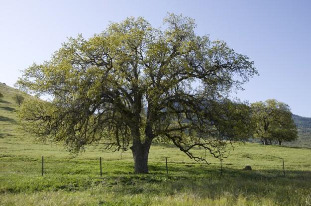 Black Oak Tree ~ Yosemite tree profile the california black oak scenic